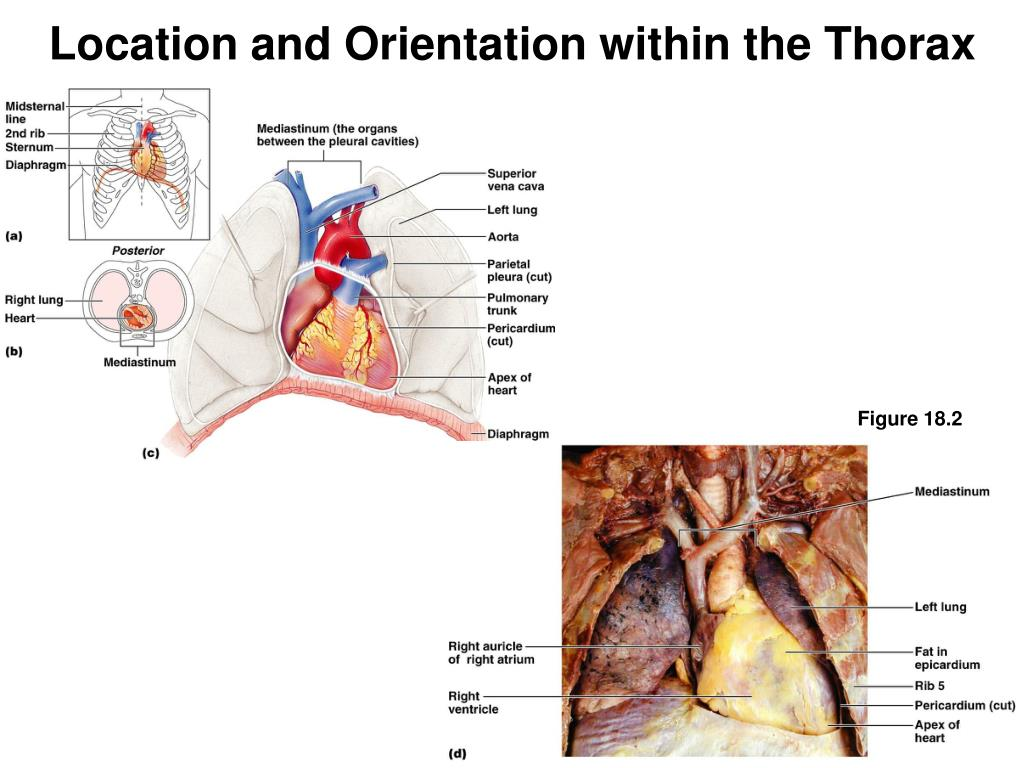 Location and Orientation within the Thorax