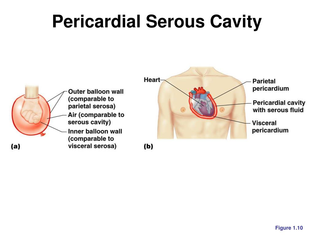 Pericardial Serous Cavity