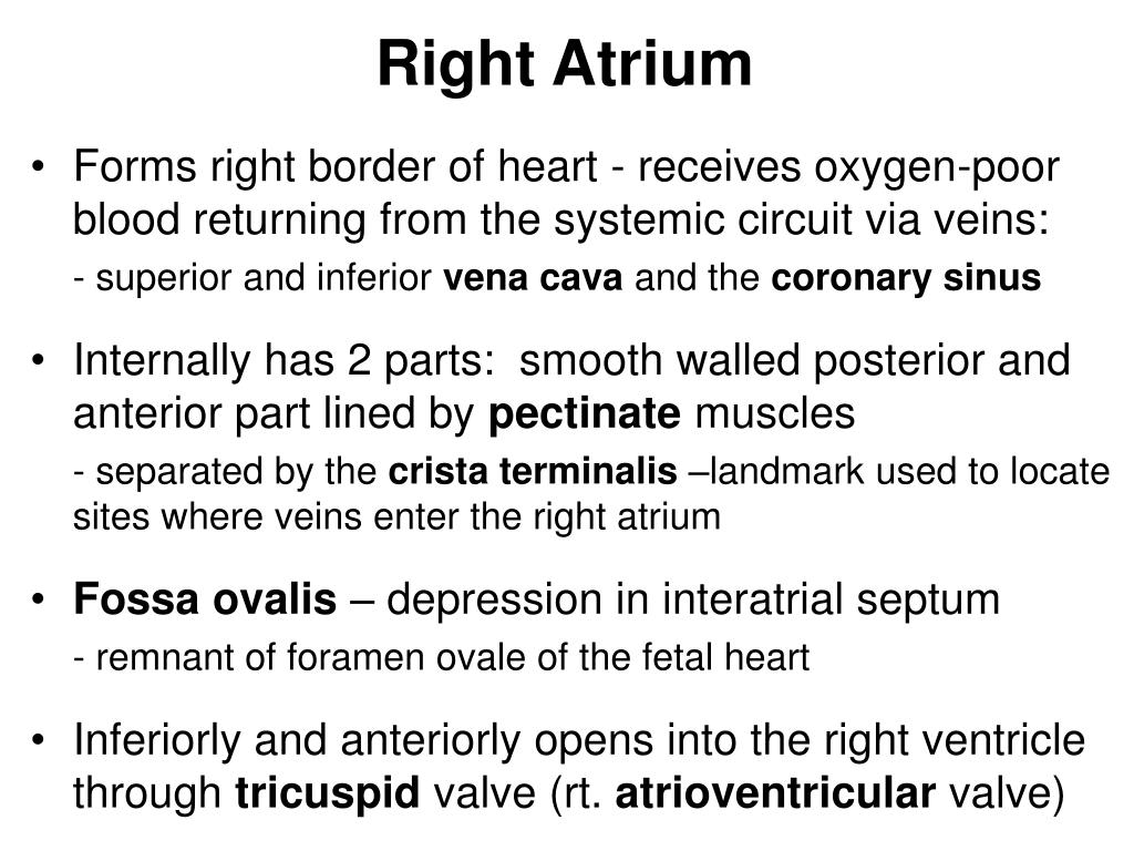Right Atrium