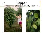 pepper perennial glabrous woody climber