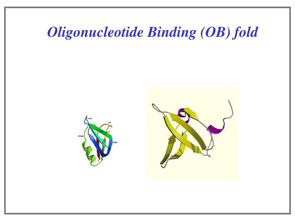 Oligonucleotide Binding (OB) fold