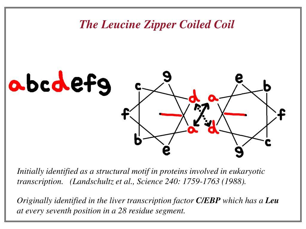 The Leucine Zipper Coiled Coil
