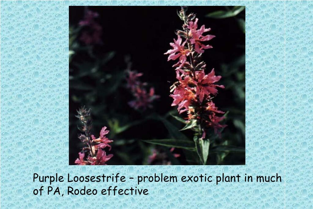 Purple Loosestrife – problem exotic plant in much of PA, Rodeo effective