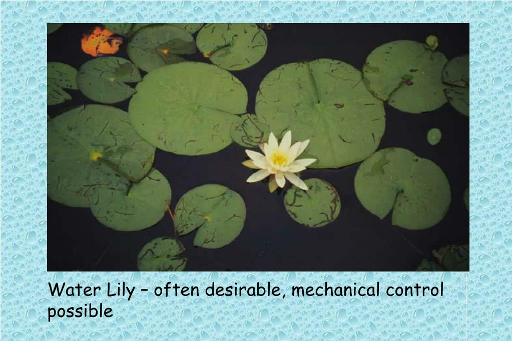 Water Lily – often desirable, mechanical control possible
