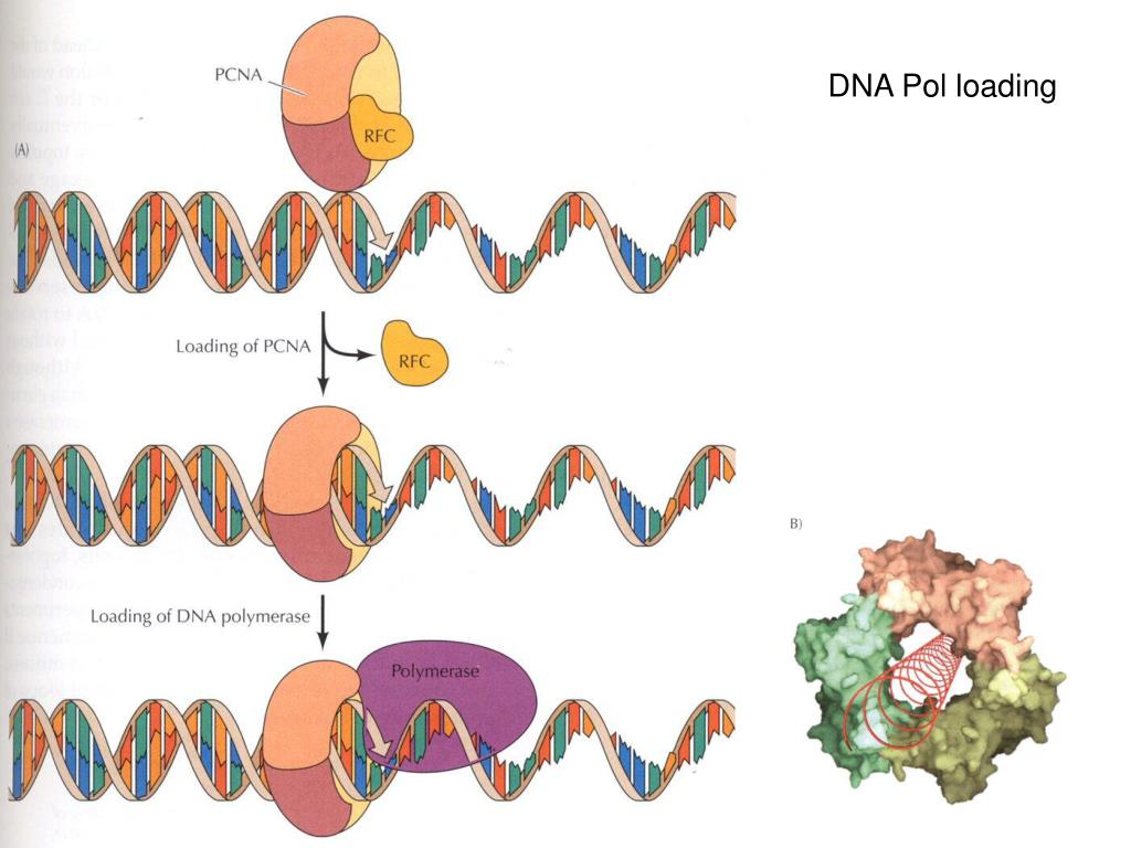 DNA Pol loading