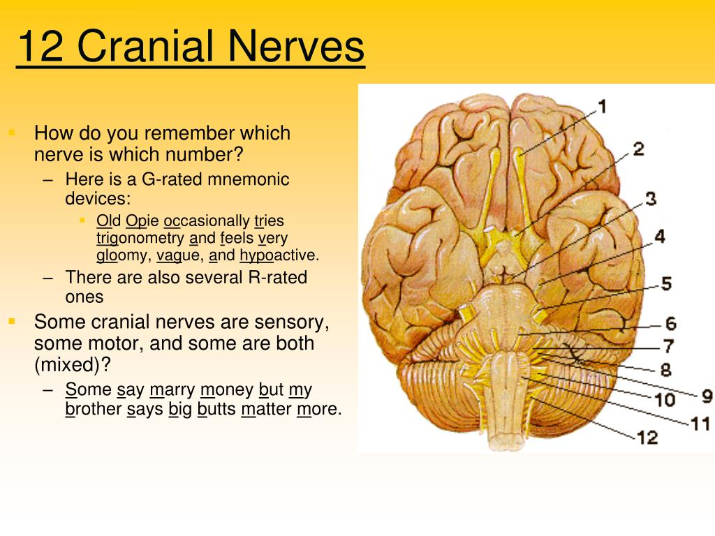 PPT - Cerebral Lateralization PowerPoint Presentation ...