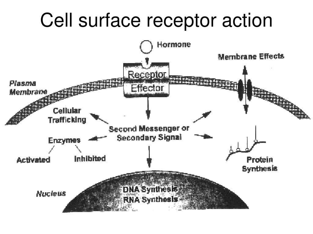 Cell surface receptor action