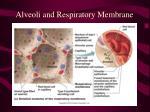 alveoli and respiratory membrane20