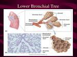 lower bronchial tree