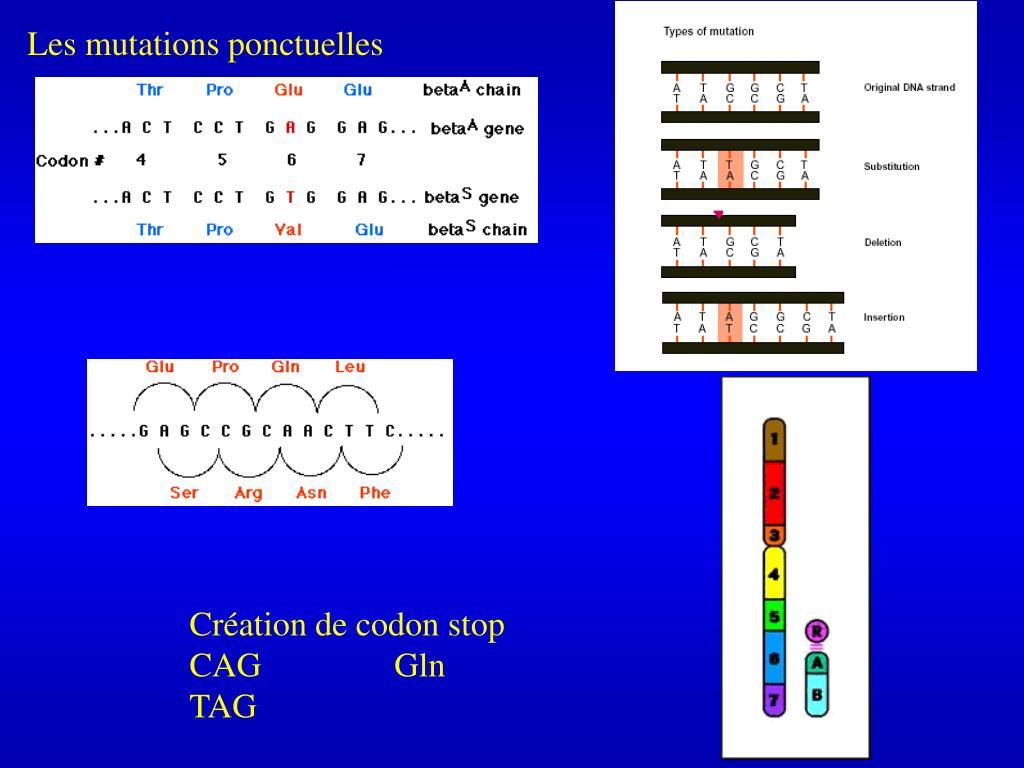 Les mutations ponctuelles