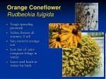 orange coneflower rudbeckia fulgida