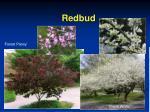 redbud12