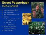 sweet pepperbush clethra alnifolia