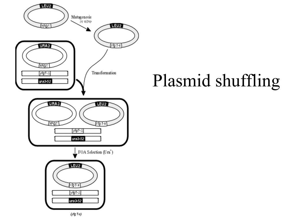 Plasmid shuffling