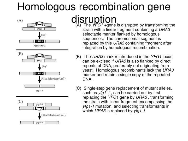 Homologous recombination gene disruption