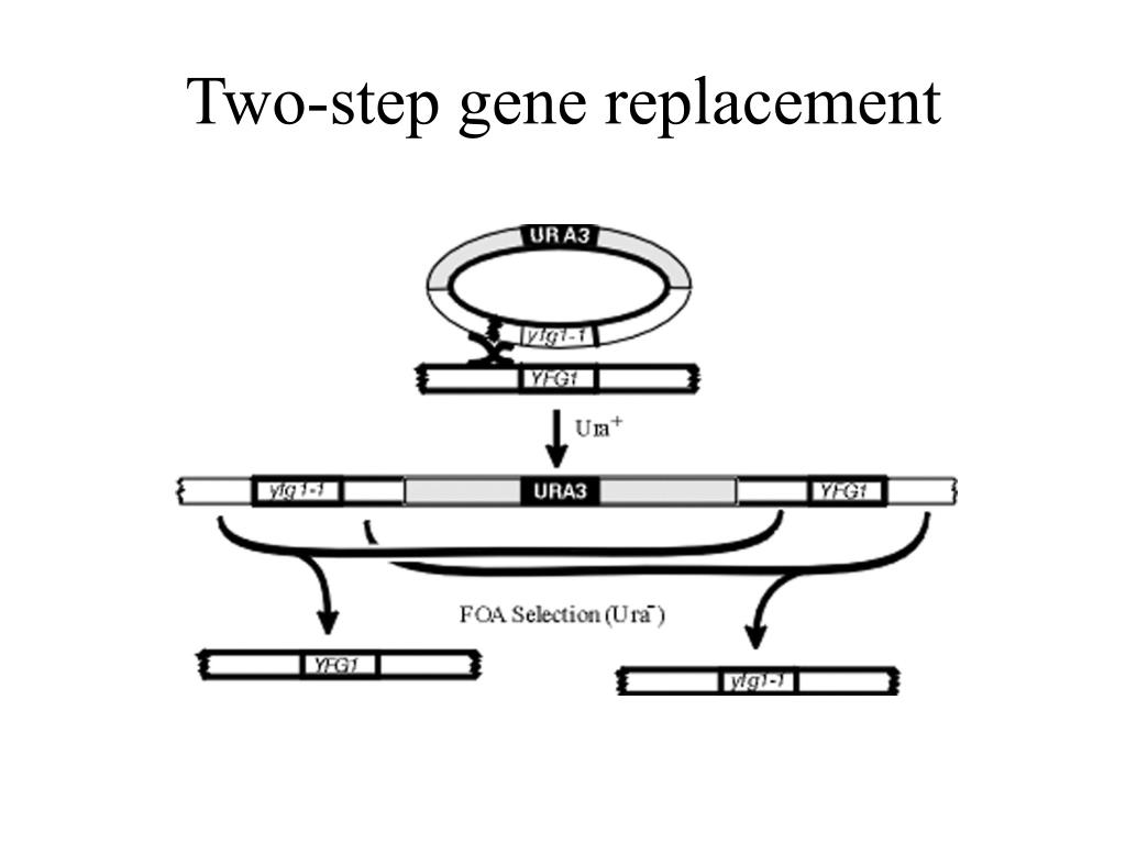 Two-step gene replacement