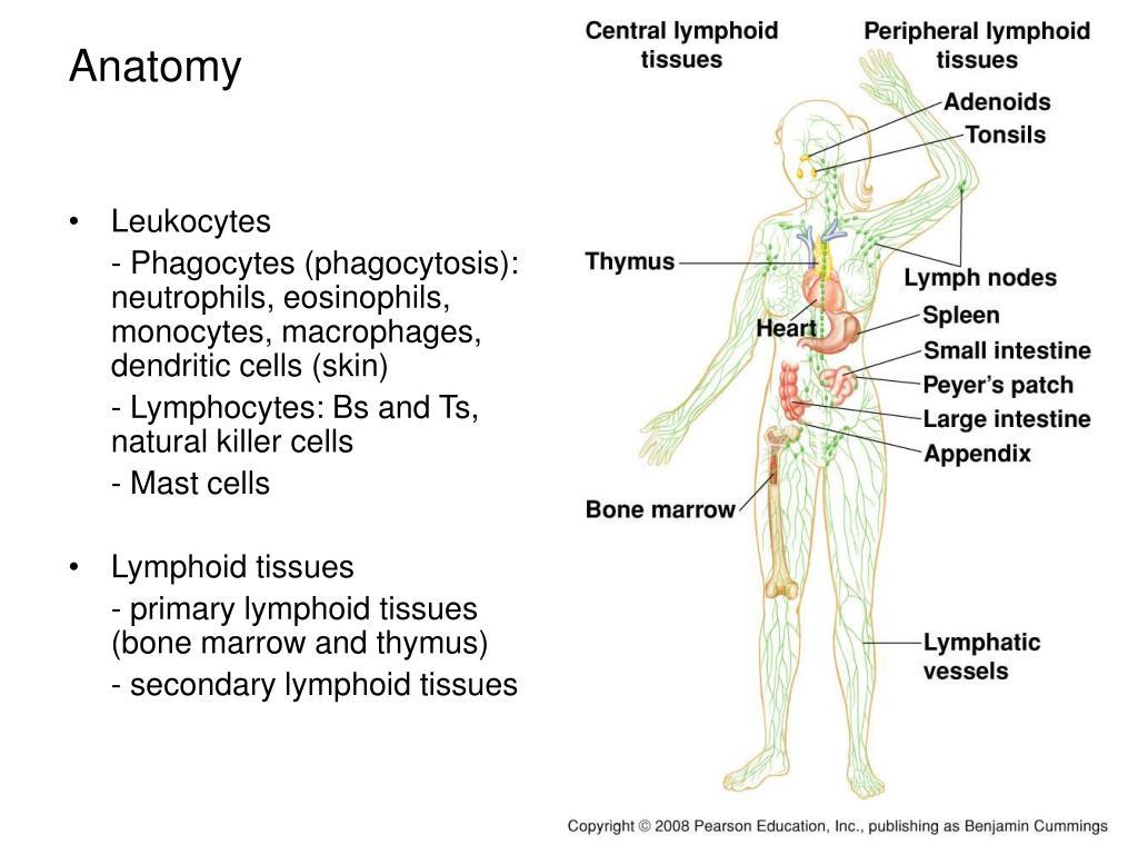 Leukocytes