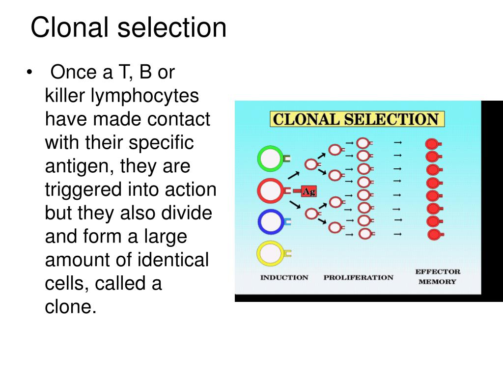Once a T, B or killer lymphocytes have made contact with their specific antigen, they are triggered into action but they also divide and form a large amount of identical cells, called a clone.