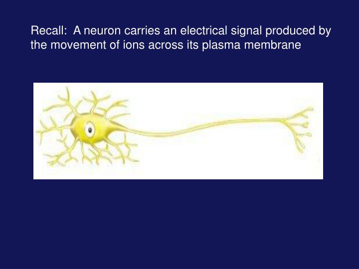 Recall:  A neuron carries an electrical signal produced by the movement of ions across its plasma me...