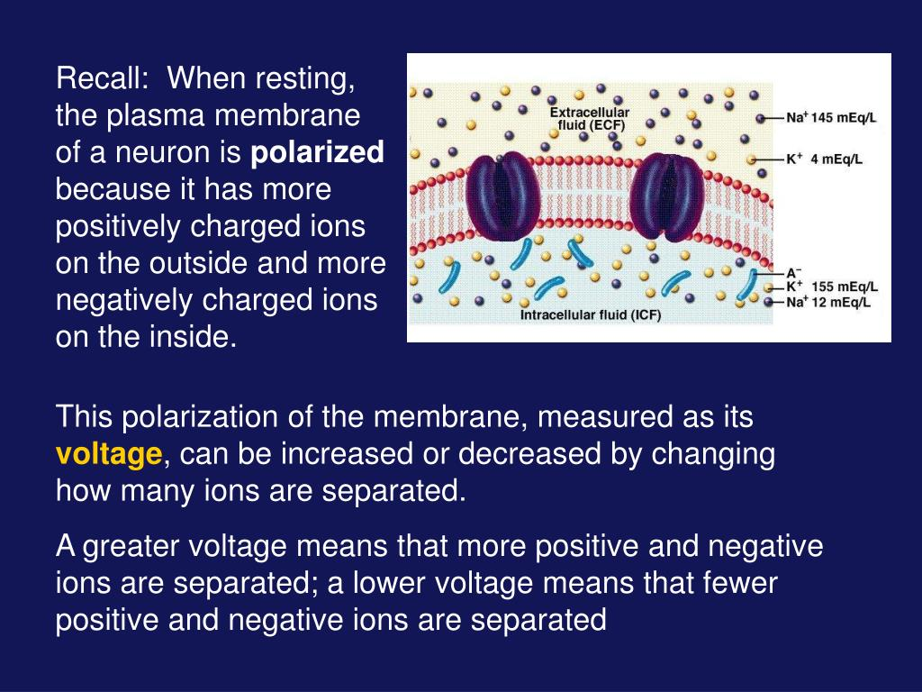 Recall:  When resting, the plasma membrane of a neuron is