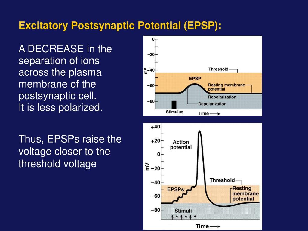 Excitatory Postsynaptic Potential (EPSP):
