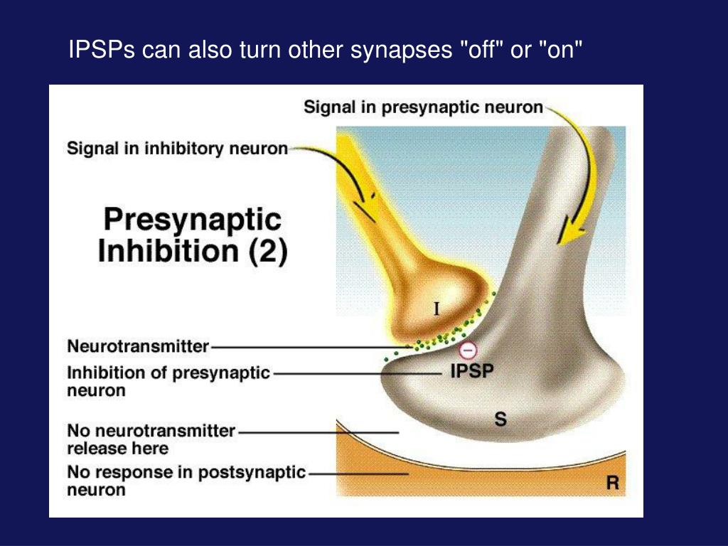 """IPSPs can also turn other synapses """"off"""" or """"on"""""""