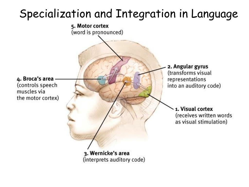 Specialization and Integration in Language
