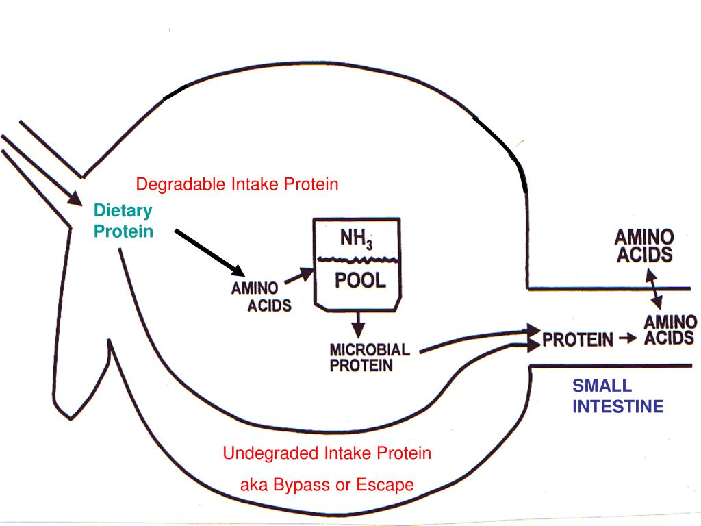 Degradable Intake Protein