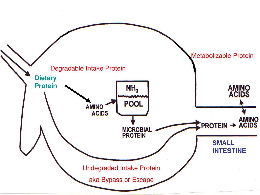 Metabolizable Protein