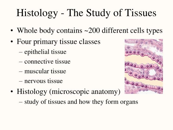 Ppt Histology The Study Of Tissues Powerpoint Presentation Id