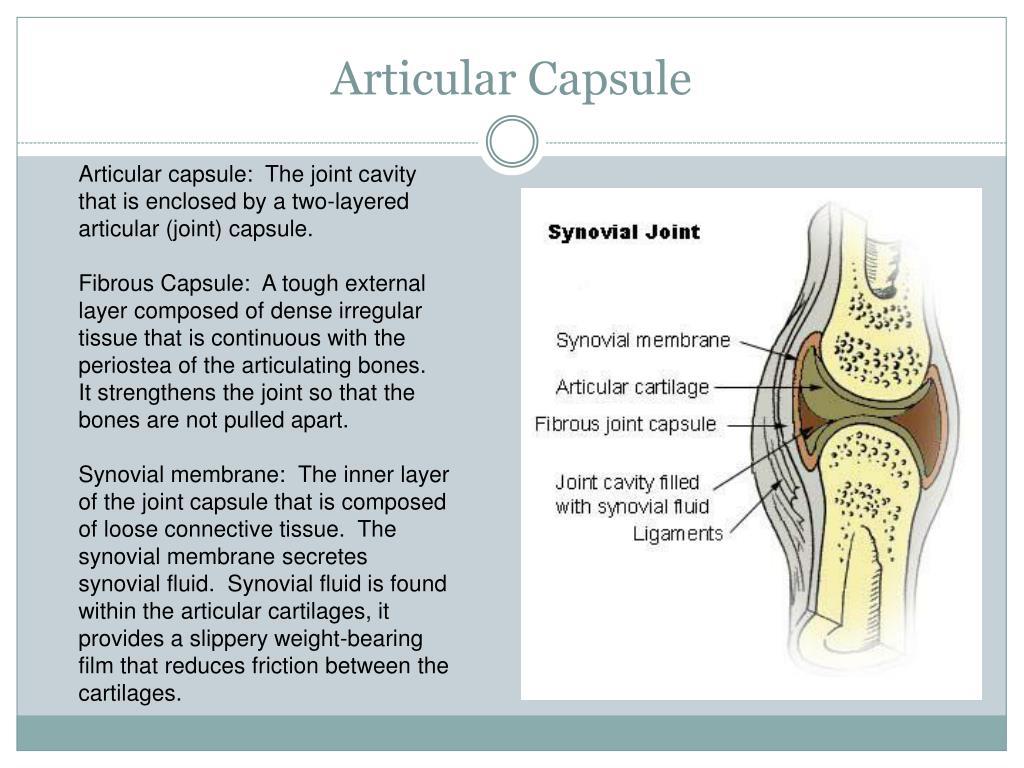 Articular Capsule