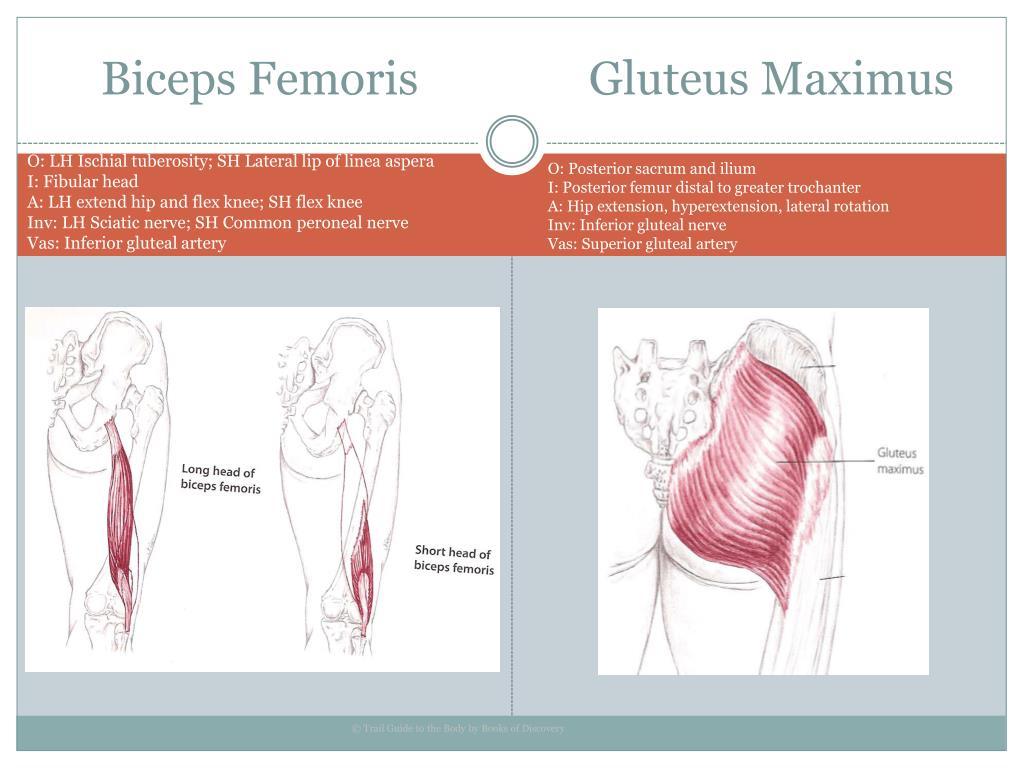 Biceps Femoris               Gluteus Maximus