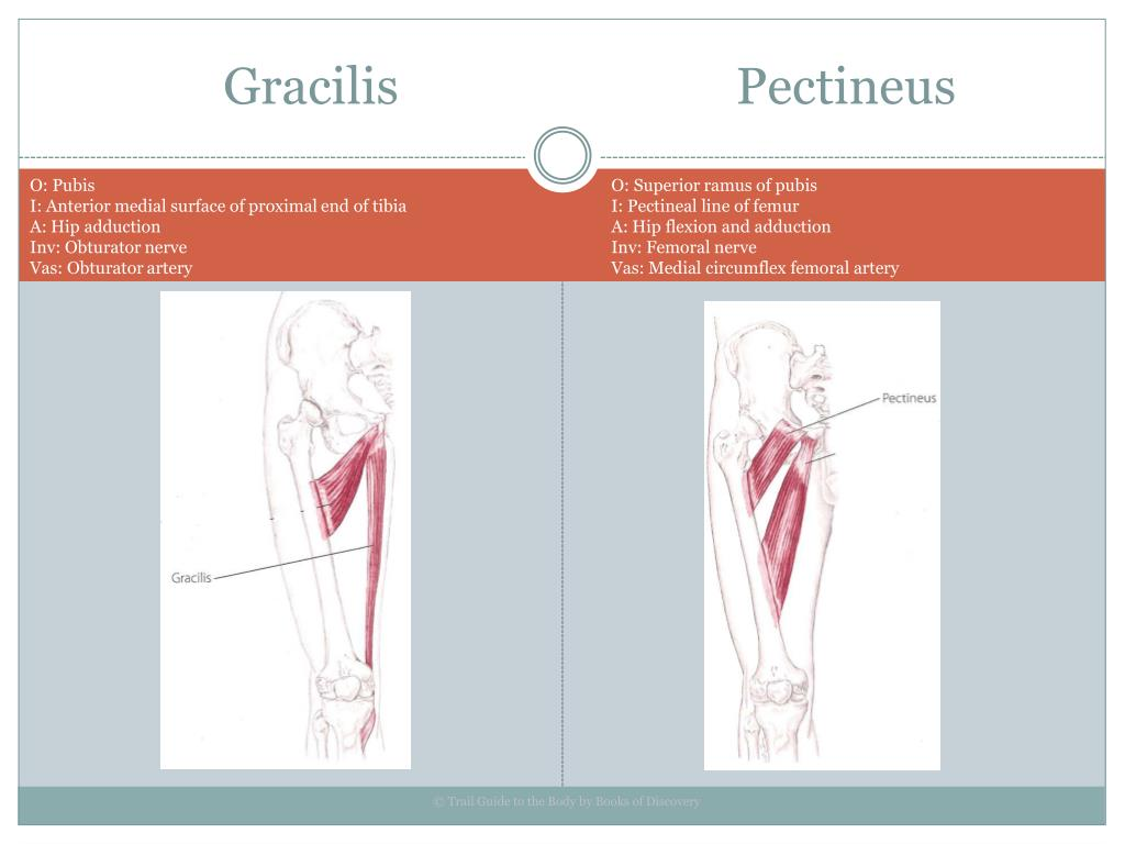 Gracilis                           Pectineus
