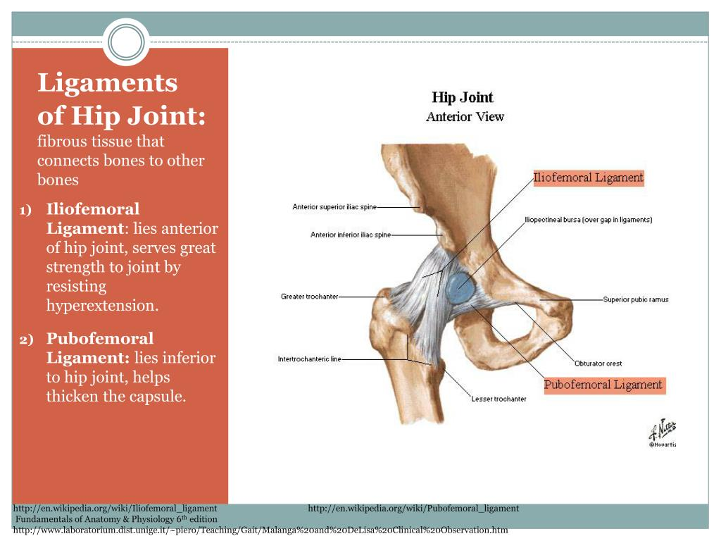 Ligaments of Hip Joint: