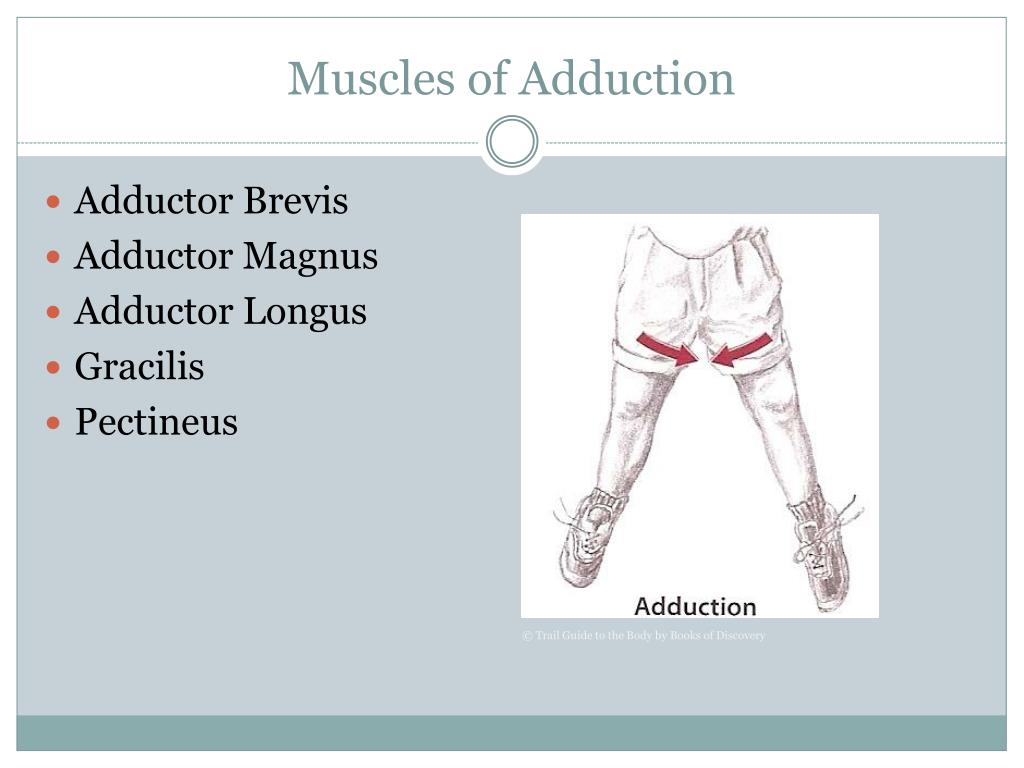 Muscles of Adduction