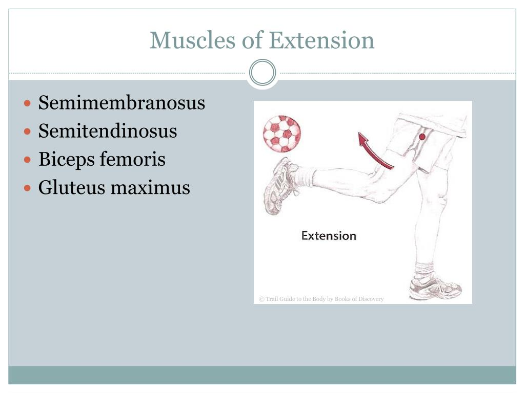 Muscles of Extension