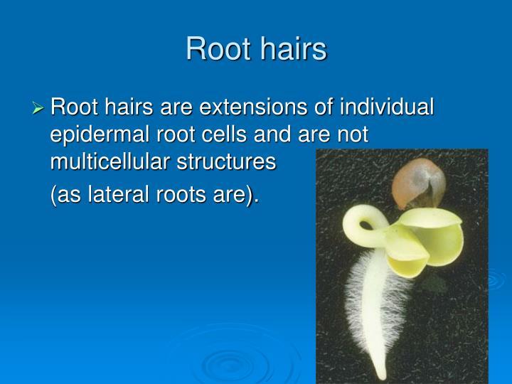 Root hairs