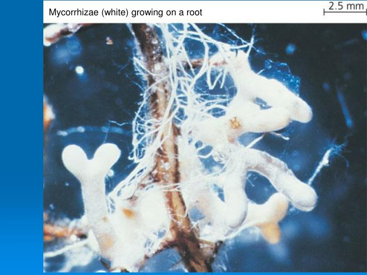 Mycorrhizae (white) growing on a root