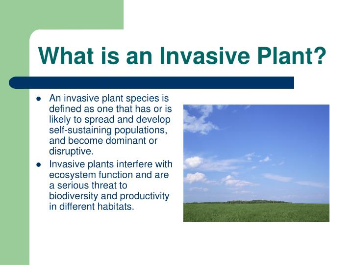 What is an invasive plant