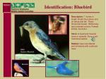 identification bluebird