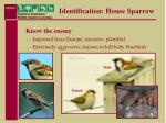 identification house sparrow