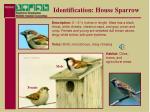 identification house sparrow11