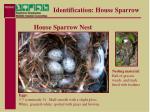 identification house sparrow12