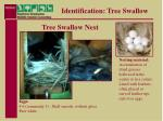 identification tree swallow14