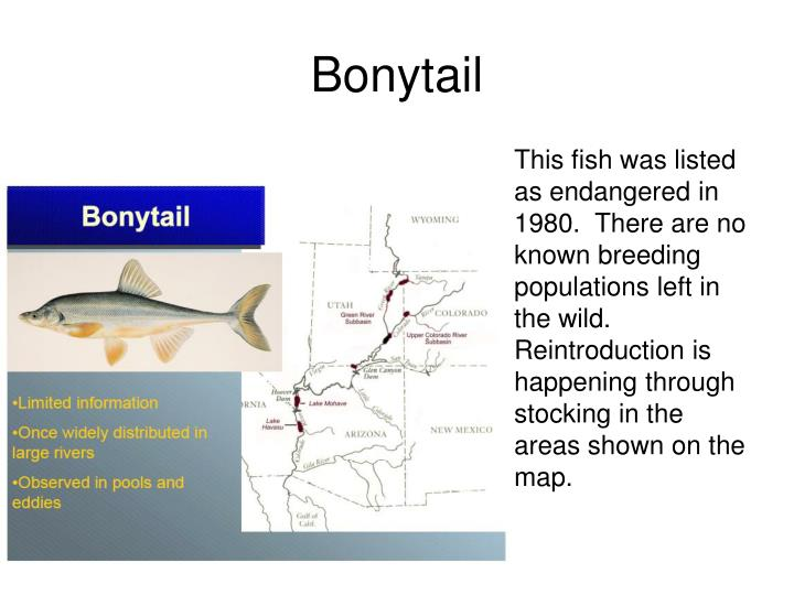 This fish was listed as endangered in 1980.  There are no known breeding populations left in the wild.  Reintroduction is happening through stocking in the areas shown on the map.