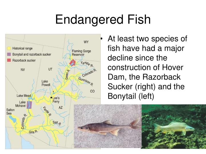 At least two species of fish have had a major decline since the construction of Hover Dam, the Razorback Sucker (right) and the Bonytail (left)