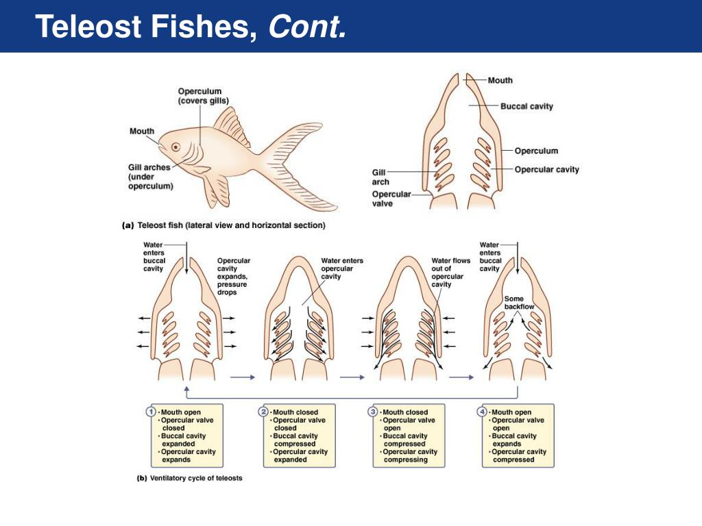 Teleost Fishes,