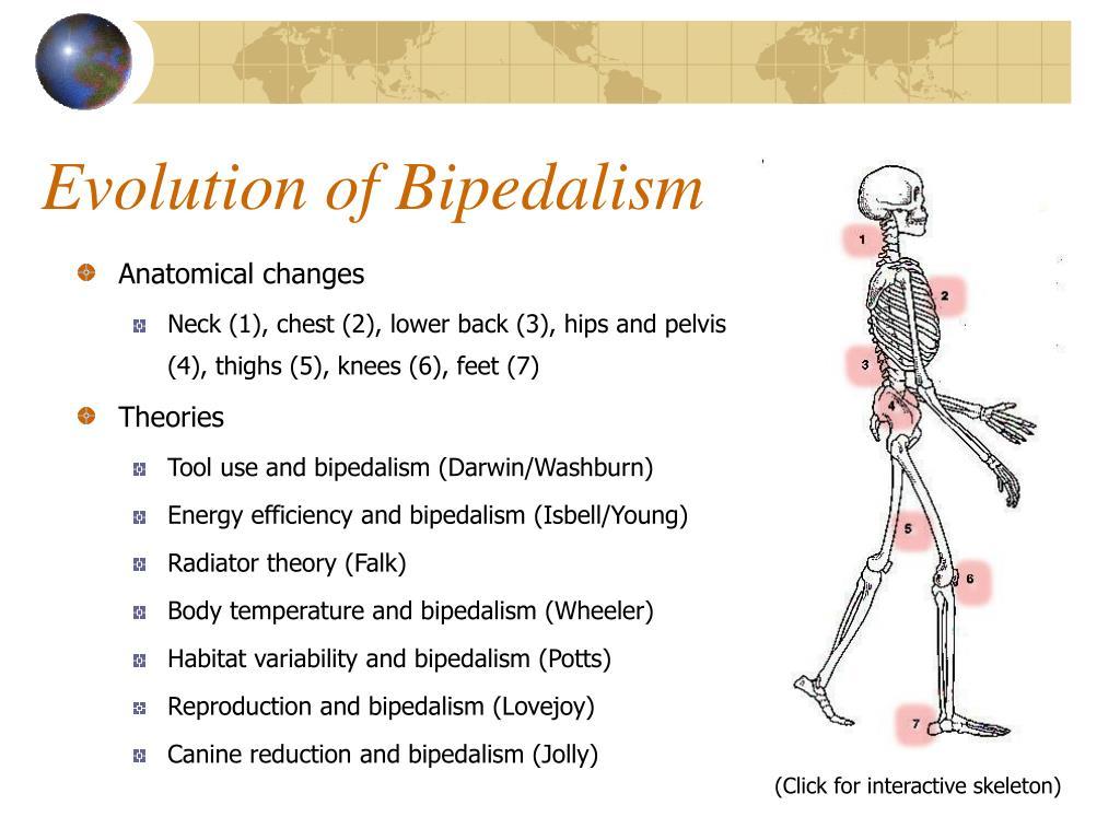 Evolution of Bipedalism