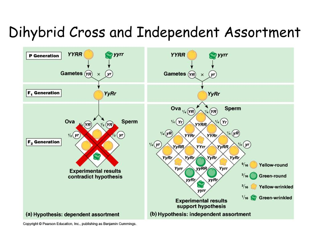 Dihybrid Cross and Independent Assortment