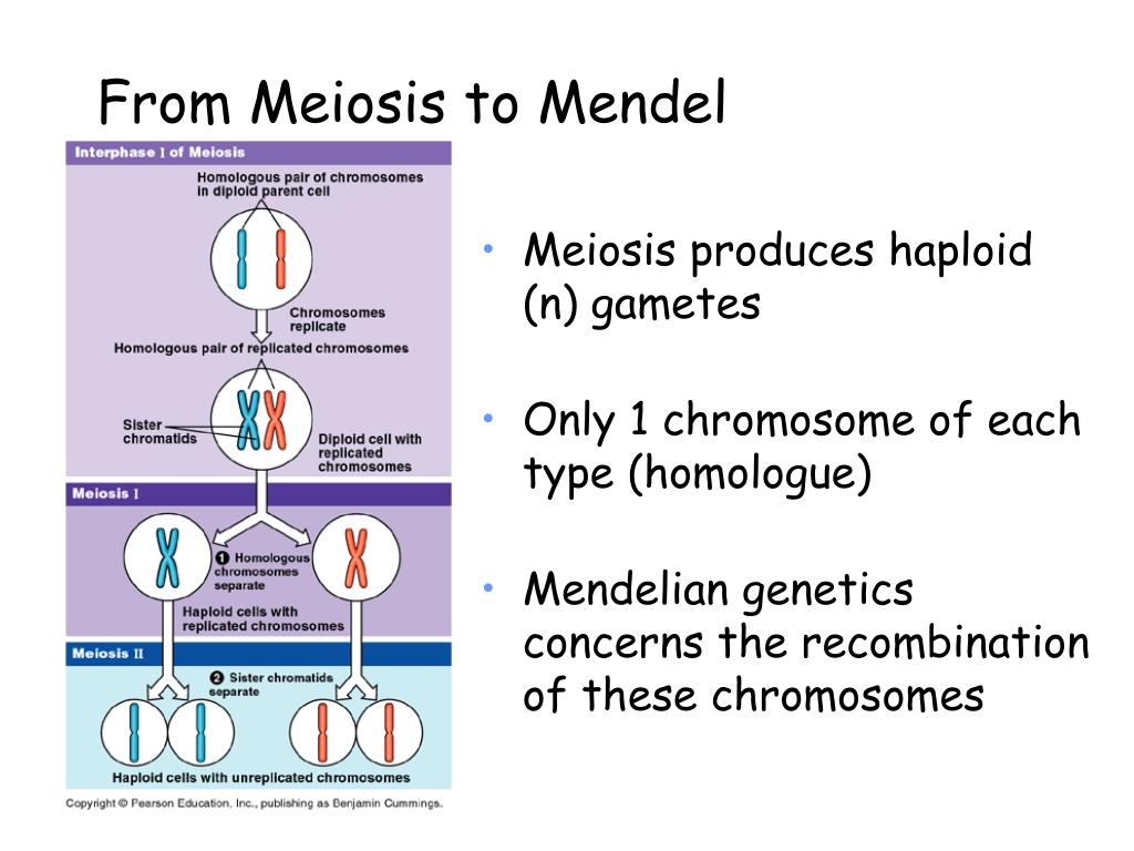 From Meiosis to Mendel